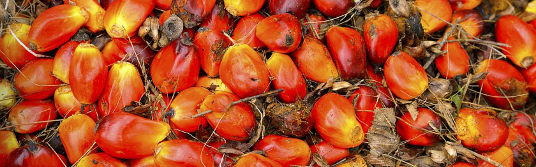 Semillas de aceite de palma, cuyo aceite es uno de los que pueden presentar 3 mcpd y ésteres glicidílicos